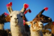 Randonnée avec lamas