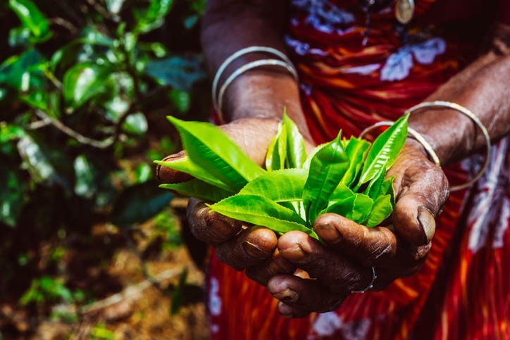 Visite plantation de thé