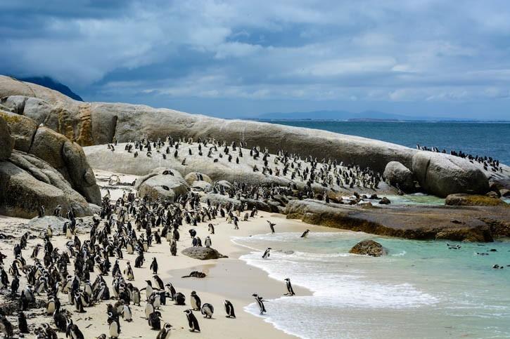 Rendez-vous avec la colonie de manchots du Cap